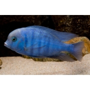 Blue Golfinho |Cyrtocara Moorii