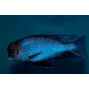 Blue Golfinho | Cyrtocara Moorii | Ciclídeos Africanos | Lago Malawi