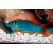 Botia Blue Red Tail | Modesta