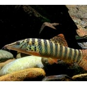 Botia Red Fin Tiger | Syncrossus berdmorei