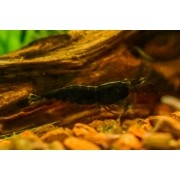 Camarão Black Sakura | Neocaridina heteropoda