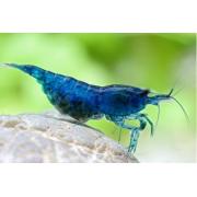 Camarão Blue Fantasy Dream | 1 a 2 cm | Neocaridina davidi