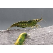 Camarão Green Jade | 1 a 2 cm | Neocaridina davidi