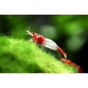 Camarão Red Rili | 1 a 2 cm | Neocaridina davidi