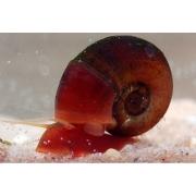 Caramujo Red Ramshorn | 2,5 cm