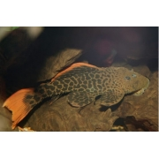 Cascudo Leopardo | 22 a 25 cm| Cascudo L600