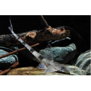 Cascudo Rabo de Chicote | 7 cm a 8 cm | Rineloricaria Fallax