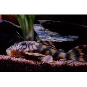 Cascudo Tigre | L015