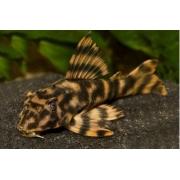 Cascudo Tigre | 7 a 8 cm | L015