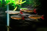 Chalceus | 4 a 6 cm | Chalceus Macrolepidotus