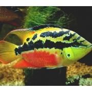 Ciclídeo Salvini | Trichromis salvini