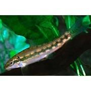 Comedor de Algas Chinês | Gyrinocheilus aymonieri |