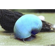 Curbicula Azul |  Pomacea bridgesii