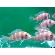 Cyphotilápia Frontosa Red | Ciclídeos Lago Tanganyka