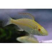 Dimidiochromis Compressiceps Albino | 4 a 5 cm | Ciclídeo africano
