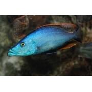 Dimidiochromis Compressiceps Azul | 2,5 a 4 cm | Ciclídeo africano