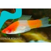 Espada Kohaku Albina | Xiphophorus helleri | Poecilídeos