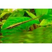 Farfowella Verde | Acestridium discus