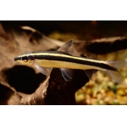 Flying Fox | Epalzeorhynchos kalopterus