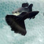 Guppy Full Black Casal | Poecilídeos