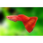 Guppy Full Red Albino Casal | Poecilídeos