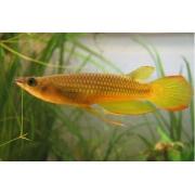 Killifish Golden Panchax - Importado