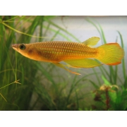 Killifish Golden Panchax - Importado