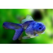 Kinguio Oranda Blue