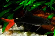 Labeo Bicolor | 2 a 3 cm | Epalzeorynchos bicolor