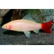 Labeo Bicolor Albino | 2 a 3 cm | Epalzeorynchos bicolor