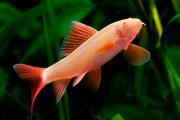 Labeo Frenatus Albino | 2 a 3 cm | Epalzeorynchos frenatus