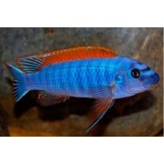 Labeotropheus Trewavasae Red Top | 4 a 5 cm