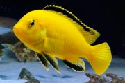 Labidochromis Caeruleus Super Yellow 2 a 4 cm | Lago Malawi
