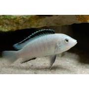 Labidochromis Caeruleus White | Lago Malawi