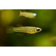 Lamp Eye  1 a 2 cm| Poropanchax normani