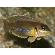 Lamprologus Ocellatus Gold Matriz| Lago Tanganica