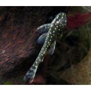 Limpa-vidro Pingo de Ouro| Parotocinclus haroldoi