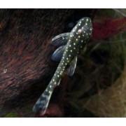 Limpa vidro Pingo de Ouro| Parotocinclus haroldoi