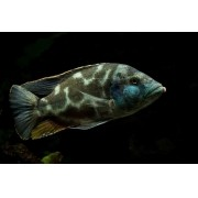 Livingstone | Nimbochromis livingstonii | Ciclídeo Africano | Lago Malawi