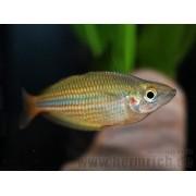 Melanotaenia Trifasciata Gold| Melanotaenia papue