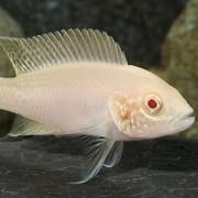 Neolamprologus Brichardi Albino | Lago Tanganica