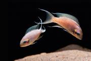 Neolamprologus Brichardi | Lago Tanganica