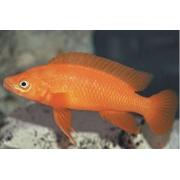 Neolamprologus Leleupi Orange