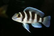 Neolamprologus Tretocephalus | Five Bar
