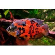 Oscar Red Tiger | 7 a 9 Cm | Astronotus ocellatus