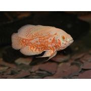 Oscar Red Tiger Albino Importado | 4 a 6 cm|