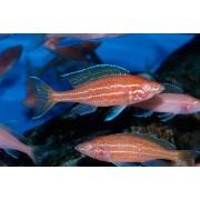 Paraciprichromis Nigripinnis Blue Neon Albino | Ciclideos Lago Tanganyka