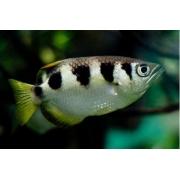 Peixe Arqueiro | Toxotes jaculatrix