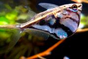 Peixe Borboleta | Carnegiella Strigata