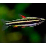 Peixe Lápis| Nannostomus marginatus